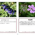 P12 メドウセージ・姫風露