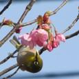 25 メジロと桜