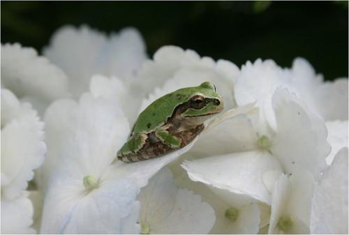34 白紫陽花に雨蛙