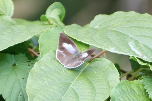 15 ウラギンシジミ(秋型)♀