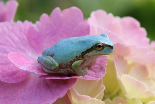 36 水色日本雨蛙