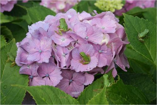 33 ピンク紫陽花に蛙